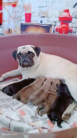 Filhotes de Pug e Shih Tzu - Foto 2