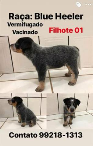 Filhote Australian Cattle Dog