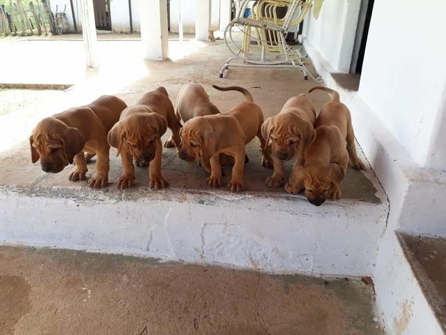 5e362390e87 Preço promocional  filhotes de fila(macho) - Cachorros e acessórios ...