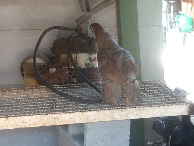 Franguinhos e pintinhos raça Brahma - Foto 5