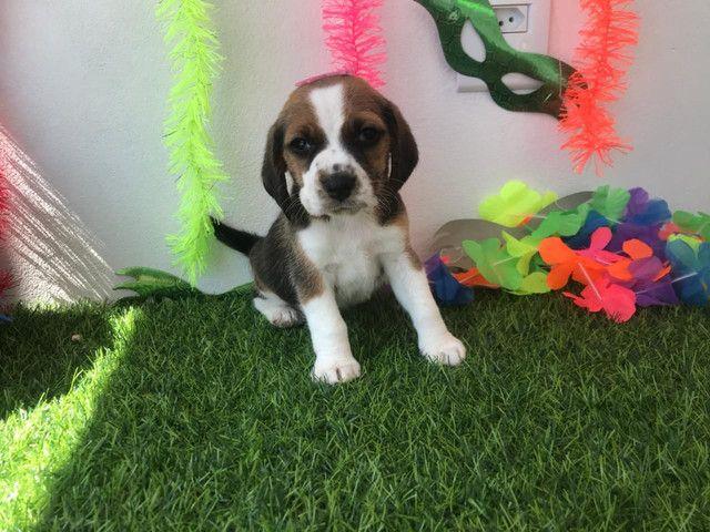 Fêmea beagle  - Foto 3