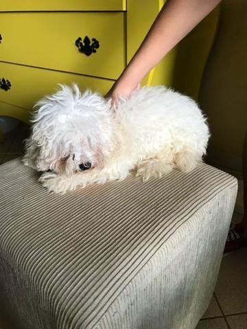 Cachorro poodle toy femea