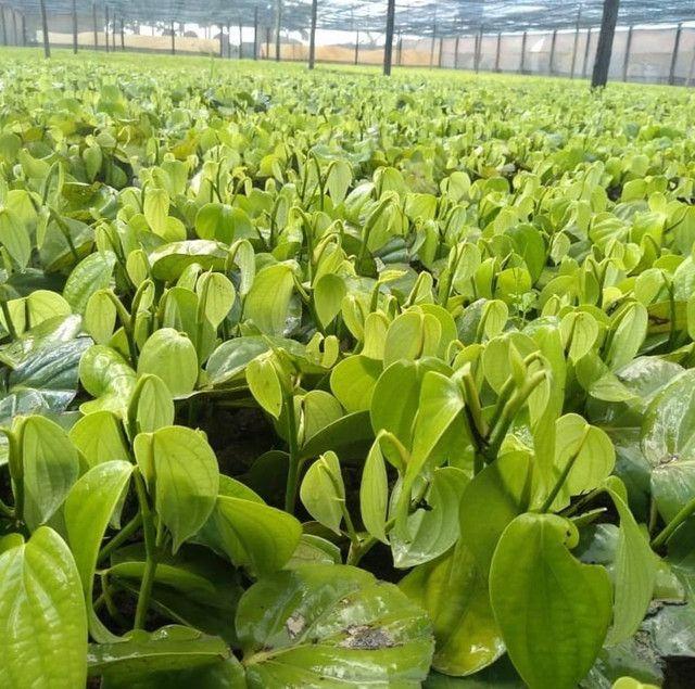 Mudas de pimenta do reino bragantina e kottonadan - entregamos - Foto 2