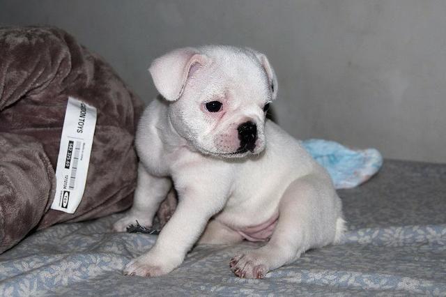 Bulldog Francês - Filhotes Fêmeas disponíveis