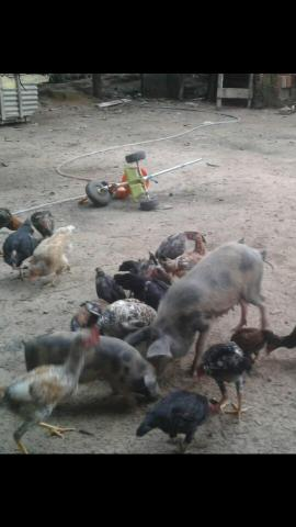 Porco e galinhas caipira
