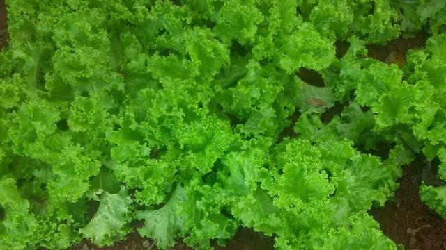 vende se alface orgânico  - Foto 4