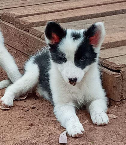 Filhotes de Border Collie com pedigree   - Foto 3