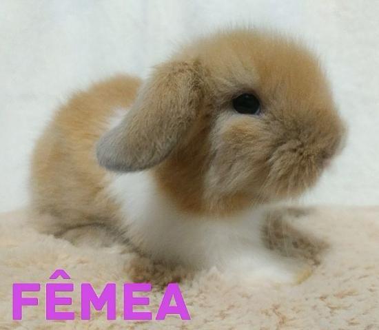Mini coelhos mini fuzzy disponíveis 17/02/18