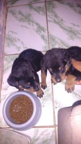 Venda de dois Rottweiler cada um