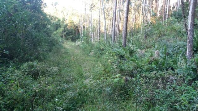Terreno com Eucalipto e pinus plantado
