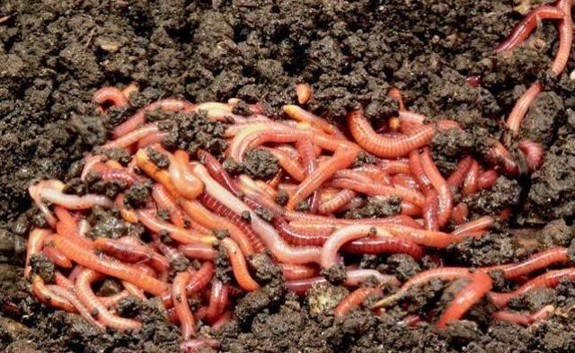 AL- 100 MINHOCAS CALIFORNIANAS VERMELHAS -compostagem doméstica - Foto 4