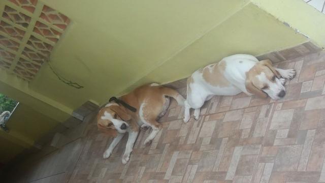 Filhote beagle bicolor fêmea