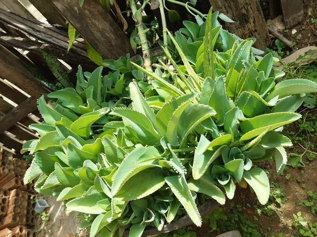 Plantas medicinais - Foto 2