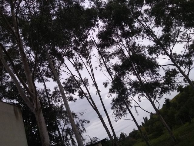Eucalipto em pé - Foto 3