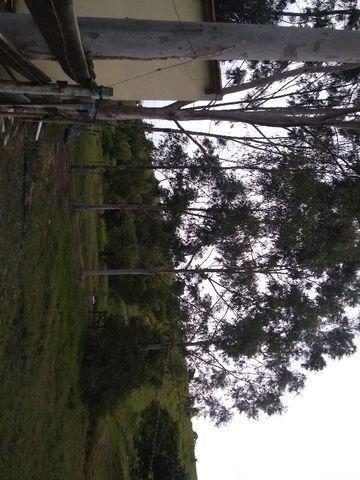 Eucalipto em pé - Foto 2
