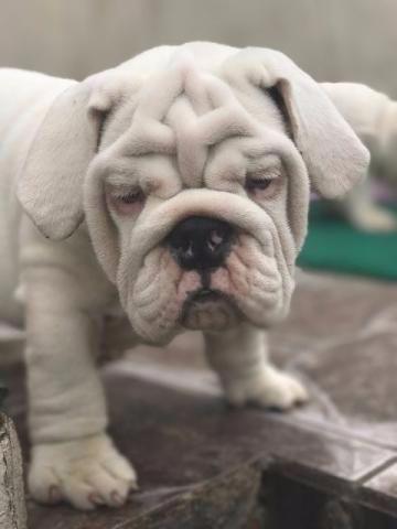 Bulldog Inglês - fillhotes- pedigree TOP-6x sem juros