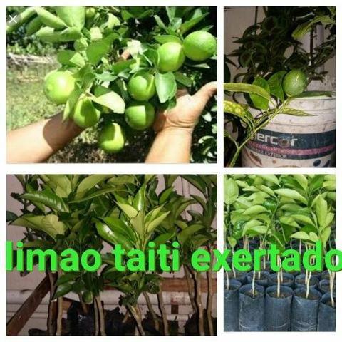 Variedades de frutíferas apart.( 3.00 ) - Foto 3