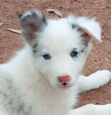 Filhotes de Border Collie com pedigree   - Foto 2