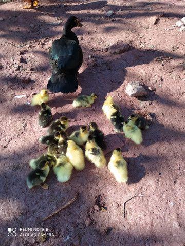 Filhotes de pato - Foto 5