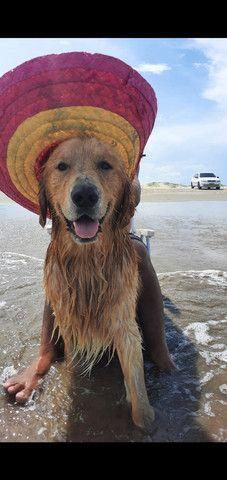 Cão Golden retriver procurando uma namorada