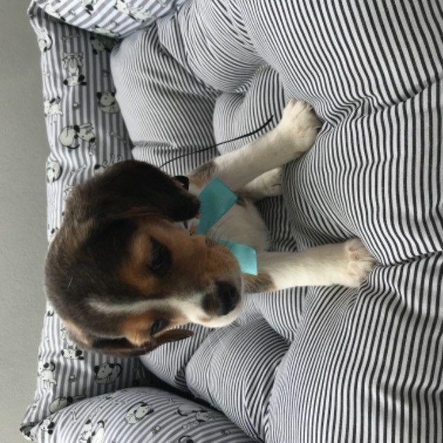 Beagle tricolor - Foto 3