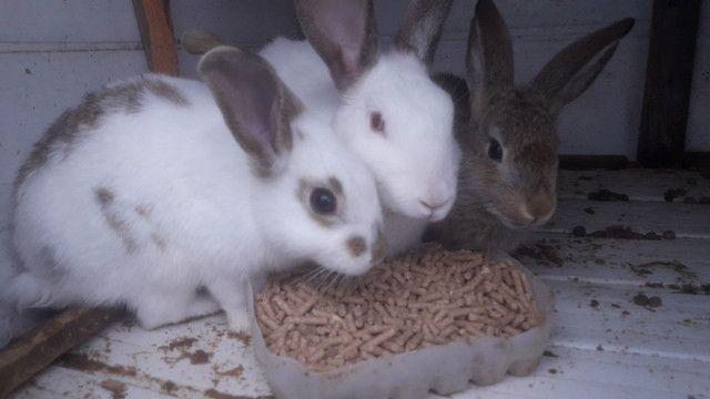 Vendo 3 coelhos 60 reais