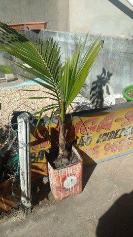 Mudas de coqueiro anão - Foto 2