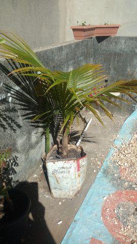Mudas de coqueiro anão - Foto 3