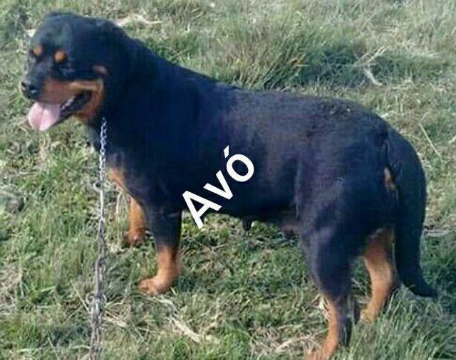Rottweiler - Foto 5