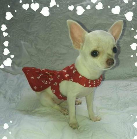 Filhote fêmea de Chihuahua!