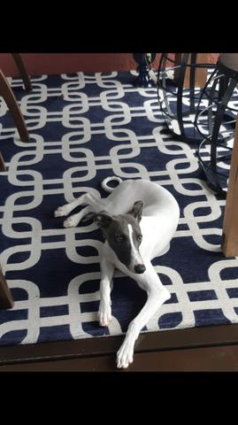 Fêmea Galgo wippet 5 meses valor 2500,00