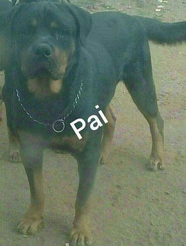 Rottweiler - Foto 3