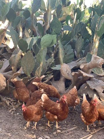 Ovos de galinhas caipiras - Foto 4