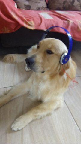 Cão Golden retriver procurando uma namorada - Foto 4