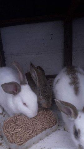 Vendo 3 coelhos 60 reais  - Foto 2