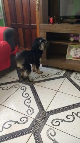 Doa-se um poodle 11 meses