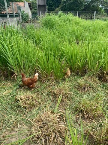 Ovos de galinhas caipiras - Foto 3