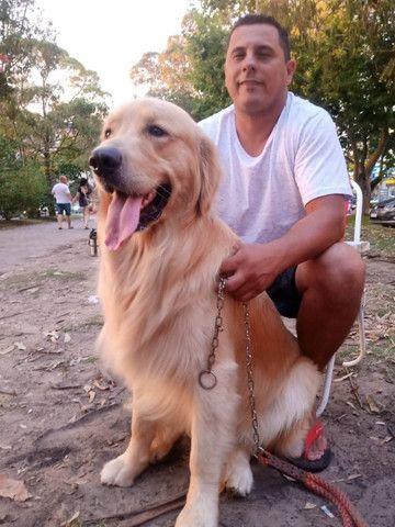 Cão Golden retriver procurando uma namorada - Foto 3