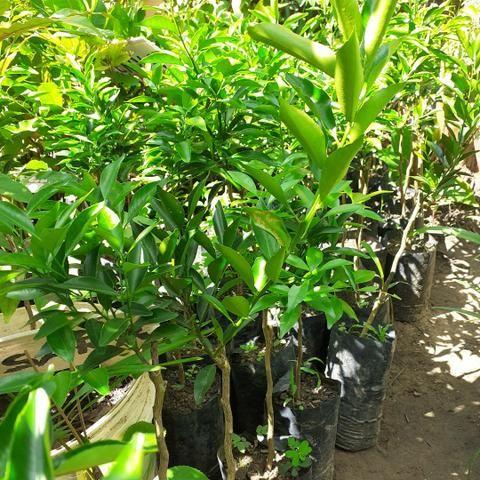 Plantas xertadas - Foto 3