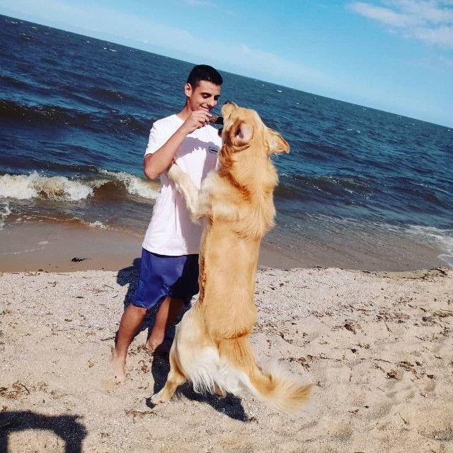 Cão Golden retriver procurando uma namorada - Foto 5