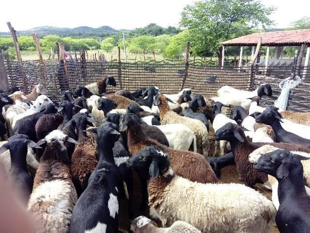 Venda de carneiros - Foto 3