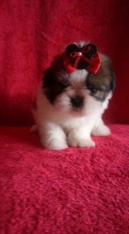 Micro Shih tzu prop veterinário oportunidade