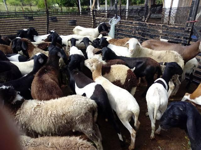 Venda de carneiros - Foto 5