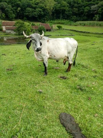 Vendo vaca gir