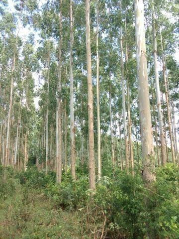 Vendo mato de eucalipto com 15 anos de plantio - Cortar e retirar do local