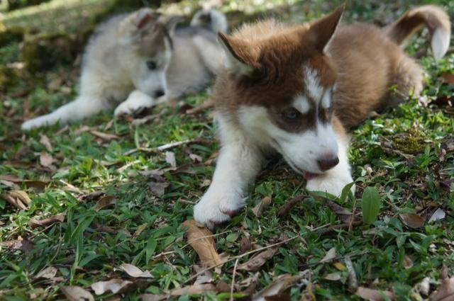 Lindo Filhote de Husky Siberiano - Foto 4