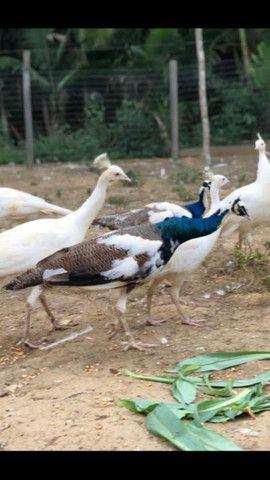 Filhote d pavão branco