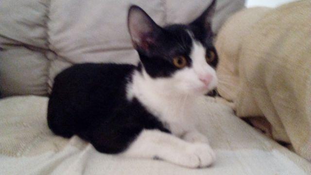 Lindo gatinho p/ adoção. Castração garantida