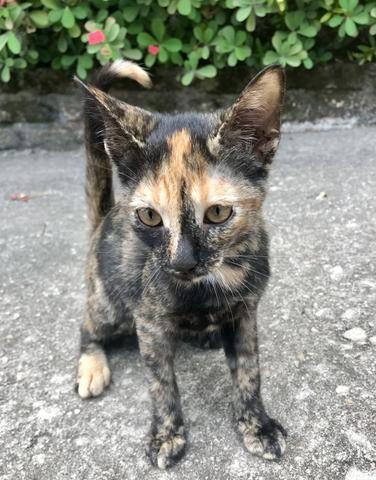 Gatinha rajada para adoção - Foto 2