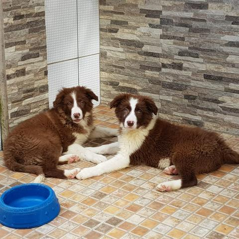 Lindos Filhotes de Border Collie - Foto 2